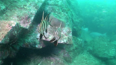 Old wife hovering, Enoplosus armatus, HD, UP21093 Stock Footage