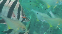 Old wife hovering, Enoplosus armatus, HD, UP21094 Stock Footage