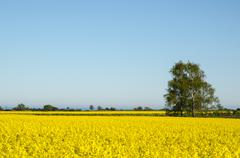 Landscape with canola fields and a birch tree at the swedish island Oland Stock Photos