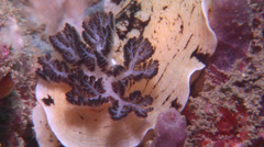 Variable creamy grey tip slug, Aphelodoris varia, HD, UP21111 Stock Footage