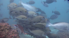 Yellow-spotted sweetlips hovering and schooling, Plectorhinchus flavomaculatus, Stock Footage