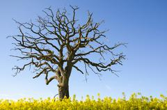 Lone wide dead oak tree at blue sky in a blossom canola field - stock photo