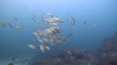 Yellow-banded snapper swimming and schooling, Lutjanus adetii, HD, UP21157 Stock Footage