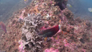 Stock Video Footage of Fish | Wrasses | Crimson Banded Wrasse | Feeding | Tracking