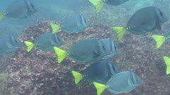 Razor sawtail swimming and schooling, Prionurus laticlavius, HD, UP21258 Stock Footage