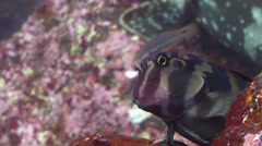 Large-banded Blenny, Ophioblennius steindachneri, HD, UP21283 Stock Footage