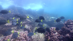 Galapagos sea lion swimming on rocky reef, Zalophus californicum wollebacki, HD, - stock footage