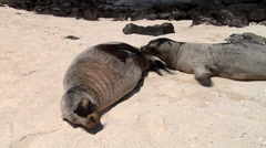 Galapagos sea lion, Zalophus californicum wollebacki, HD, UP21331 Stock Footage