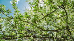 Sun shining through blossom apple tree branches - slider dolly shot in RAW Stock Footage