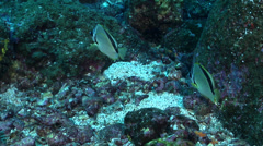 Barberfish swimming, Johnrandallia nigrirostris, HD, UP21387 Stock Footage