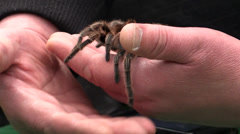 Tarantula crawling on the hand Stock Footage