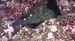 Giant hawkfish, Cirrhitus rivulatus, HD, UP21406 - stock footage