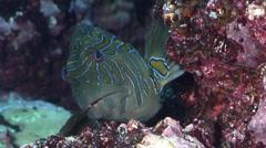 Giant hawkfish looking around, Cirrhitus rivulatus, HD, UP21407 Stock Footage