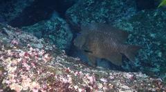 Bumphead damselfish swimming, Microspathodon bairdii, HD, UP21409 Stock Footage