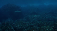 Juvenile Galapagos shark swimming on rocky reef, Carcharhinus galapagensis, HD, Stock Footage