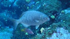 Blue-bronze sea chub swaying on rocky reef, Kyphosus analogus, HD, UP21422 Stock Footage