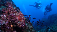 Stock Video Footage of Fish | Scorpionfish | Spotted Scorpionfish | Rocky Reef | Wide Shot | Scuba