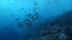 Blue-bronze sea chub swimming and schooling on rocky reef, Kyphosus analogus, Stock Footage