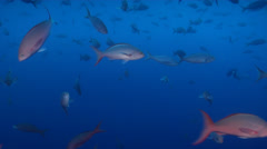 Pacific creole-fish feeding and schooling in bluewater, Paranthias colonus, HD, Stock Footage
