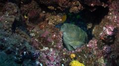 Giant hawkfish, Cirrhitus rivulatus, HD, UP21464 Stock Footage