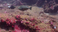 Orangeside triggerfish swimming on rocky reef, Sufflamen verres, HD, UP21493 Stock Footage
