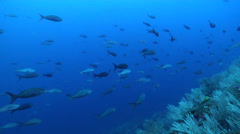 Pacific creole-fish swimming and schooling on rocky reef, Paranthias colonus, Stock Footage