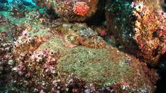 Spotted scorpionfish, Scorpaena plumieri, HD, UP21522 Stock Footage