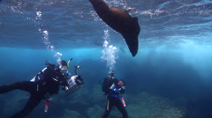 Buddy team of scuba divers looking around on rocky reef with Galapagos fur seal Stock Footage