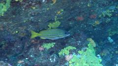 Blue and gold snapper swimming, Lutjanus viridis, HD, UP21538 Stock Footage