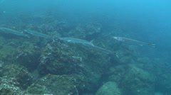 Pelican barracuda swimming and schooling on rocky reef, Sphyraena idiastes, HD, Stock Footage