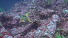 Harlequin wrasse swimming, Bodianus eclancheri, HD, UP21583 Stock Footage