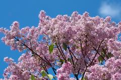Common lilac (syringa vulgaris) Stock Photos