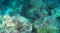 Bumphead parrotfish swimming, Scarus perrico, HD, UP21659 Stock Footage
