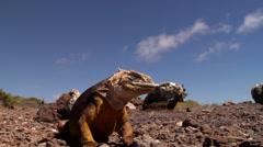 Galapagos land iguana walking, Conolophus subcristatus, HD, UP21670 Stock Footage
