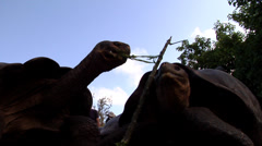 Galapagos giant tortoise feeding, Geochelone nigra nigrita, HD, UP21688 Stock Footage