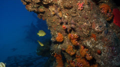 Klein's butterflyfish waiting to be cleaned on deep coral reef, Chaetodon Stock Footage