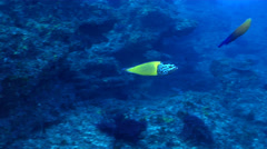 Feminine wrasse courting, Anampses femininus, HD, UP21761 - stock footage