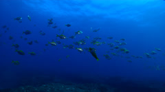 Eastern pomfred swimming and schooling on rocky reef, Schuettea scalaripinnis, Stock Footage