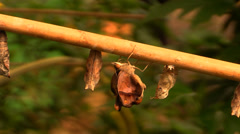 Butterfly and Chrysalis Stock Footage