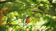 Sunbird on the tree Stock Footage