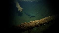 Malabar grouper hovering, Epinephelus malabaricus, HD, UP21795 Stock Footage