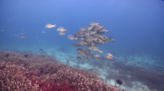 Yellow-spotted sweetlips swimming and schooling on shallow coral reef, Stock Footage