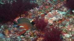 Brown surgeonfish swimming, Acanthurus nigrofuscus, HD, UP21803 Stock Footage
