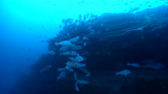 Mother-in-law fish hovering and schooling on rocky reef, Diagramma picta, HD, Stock Footage
