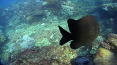 Banded scalyfin territorial, Parma polylepis, HD, UP21838 - stock footage