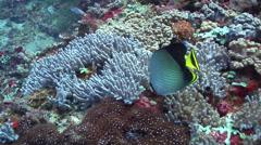 Indian vagabond butterflyfish feeding, Chaetodon decussatus, HD, UP21846 Stock Footage