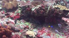 Tarry hogfish swimming, Bodianus bilunulatus, HD, UP21856 Stock Footage