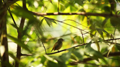 Sunbird on the tree Stock Footage