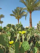 Prickly pear (opuntia) under the palms Stock Photos