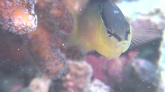 Southeast Asian blackstripe dottyback swimming, Pseudochromis perspicillatus, Stock Footage